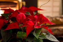 Red poinsettias home decoration next to fireplace in cozy holiday home Christmas card
