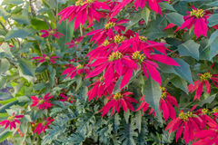 Red Poinsettias. Shrub with red blossoming Poinsettias stock photos