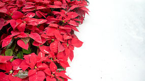 Red poinsettias on snow. Lovely red poinsettias on the left and snow on the right.  This is a typical Christmas decorations setting.  Photo taken on November Royalty Free Stock Photography