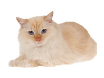 Red point cat isolated on white. Ragdoll red point cat isolated on white stock photo