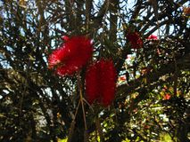 Red pointy flowers in a clear day. Red pointy flowers with sharp leaves in a tree. Nature light and a clear sky stock photography