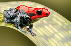 Red poison arrow frog royalty free stock photos