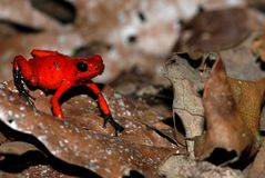 A red poison arrow frog on a leaf Stock Photos