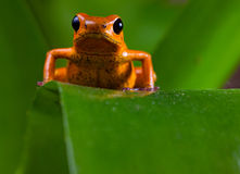 Red poison dart frog stock photo