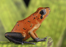 Red poison dart frog Costa Rica Stock Photo