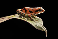 Red poison dart frog Oophaga pumilio Royalty Free Stock Photos