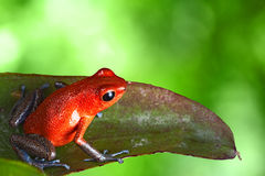 Red poison dart frog in tropical jungle
