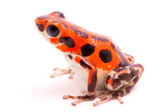 Red poison dart frog. 