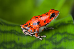 Red poison frog Royalty Free Stock Photography