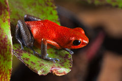 Red poison frog exotic poisonous animal Royalty Free Stock Photos
