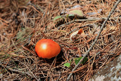 Red poisoned mushroom growing in the forest Royalty Free Stock Photography