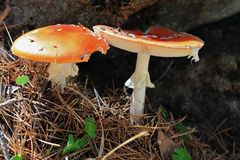 Red poisoned mushroom growing in the summer forest Stock Photography