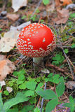 Red poisoned mushroom growing in the summer forest Stock Images