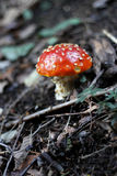 Red Poisoned Mushroom Growing In The Summer Forest Royalty Free Stock Image
