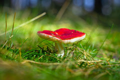 Red poisoned toadstool Stock Photography
