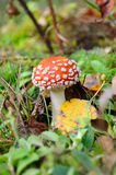 Red poisonous mushroom Royalty Free Stock Photo