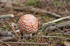 Red poisonous mushroom growing in coniferous forest, (Amanita muscaria) Royalty Free Stock Photography