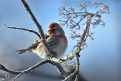 Red Pole Song Bird. A close up image of a Red Pole song bird perched in a tree branch during winter royalty free stock photos