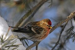 Red Pole Song Bird. A close up image of a Red Pole song bird perched in a tree branch during winter stock images