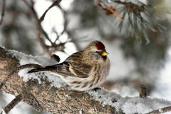 Red Pole Song Bird. A close up image of a Red Pole song bird perched in a tree branch during winter stock photography