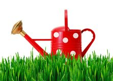 Red polka dot watering can on green grass isolated on white. Background Royalty Free Stock Images