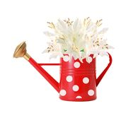 Red polka dot watering can and white lilly isolated on white Royalty Free Stock Images