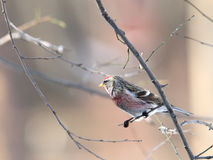 Red-poll on branch - portrait. Red-poll sitting on bush branch Stock Image
