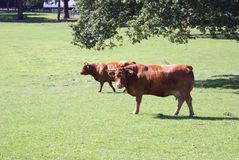 Red Poll cattle. The Red Poll is a a dual-purpose breed of cattle developed in England in the latter half of the 19th century, and a cross of the Norfolk Red Stock Photo
