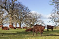 Red Poll Cattle Stock Images