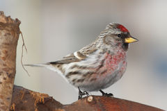 Red-poll close up. Red-poll sitting on stump - portrait Royalty Free Stock Photos