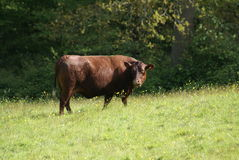 Red Poll cow. Beef cattle of a red poll cow in a farmland, field, or a farm in the countryside of England Stock Photo