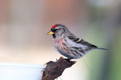 Red-poll before  dinner. Red-poll near bird feeder portrait Royalty Free Stock Images