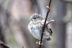 Red poll fledgling has left the nest in early spring Royalty Free Stock Photography