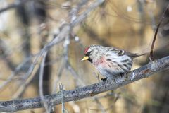 Red-poll in foresta Immagine Stock