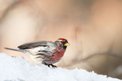 Red-poll on snowdrift. Looks ahead Stock Image