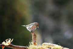 Red-poll on stump. Red-poll sitting on stump near nestle Royalty Free Stock Images
