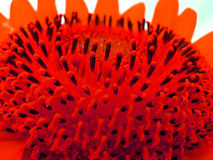 Red Pollen Royalty Free Stock Photos