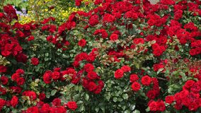 Red polyantha rose rosa multiflora and gardener hand in green glove stock video footage