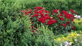 Red polyantha rose rosa multiflora and gardener hand in green glove stock video