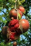Red pomegranades Stock Photo