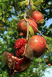 Red pomegranades Royalty Free Stock Image