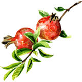 Red pomegranate. Watercolor painting on white background Royalty Free Stock Image