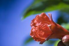 红色的石榴花与蓝色的天空背景 Red pomegranate flowers, hd flowers, flower texture material stock image