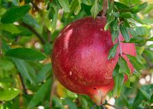 Red Pomegranate Fruit on Tree stock images
