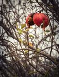 Red pomegranate fruit in winter in Greece on a cloudy day after rain stock images