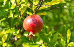 Red pomegranate on a tree Stock Images