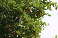 Red pomegranates in green leaves stock photo