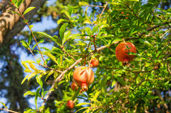 RED POMEGRANATES. Red ripe round pomegranates on a tree Royalty Free Stock Image