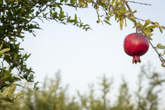 Red pomegrant for rosh hashana hanging in the sunset royalty free stock image