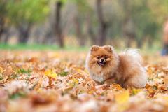 Red Pomeranian in the autumn park royalty free stock image